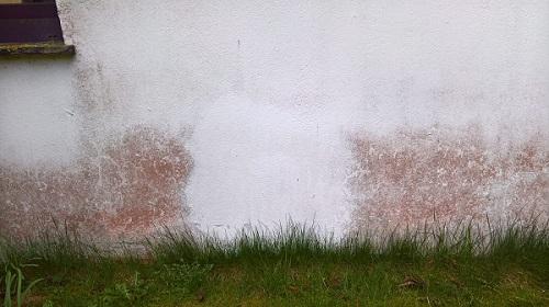 Wand-Rotalge-klein
